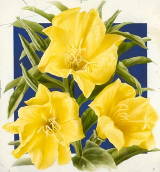 Evening Primrose (Yellow). American School