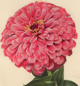 Zinnia, Giant Flowering Pink. American School
