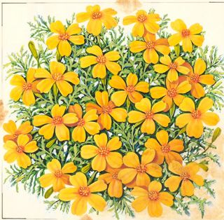 Dwarf Scotch Marigold. American School