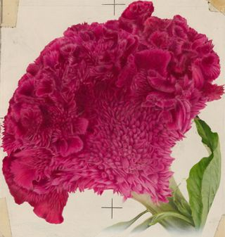 Cockscomb (Empress Red). American School.