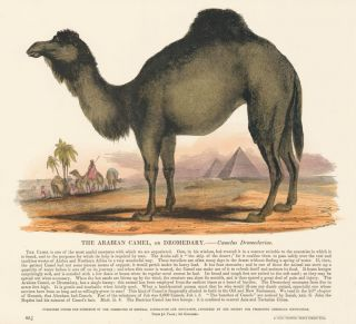 The Arabian Camel. Plates Illustrative of Natural History. Josiah Wood Whymper