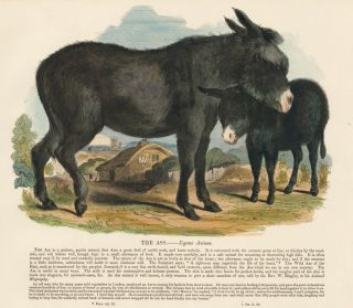 The Ass. Plates Illustrative of Natural History. Josiah Wood Whymper