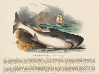 The White Shark. Plates Illustrative of Natural History. Josiah Wood Whymper