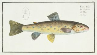 Salmo Fario [The Trout]. Ichthyologie, ou Histoire Naturelle, Generale et Particulaire.