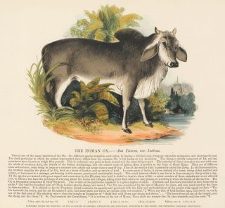 The Indian Ox. Plates Illustrative of Natural History. Josiah Wood Whymper