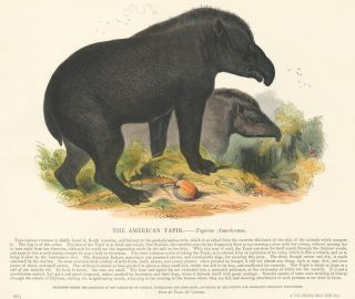 The American Tapir. Plates Illustrative of Natural History. Josiah Wood Whymper.
