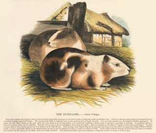 The Guinea-Pig. Plates Illustrative of Natural History. Josiah Wood Whymper