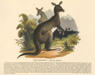 The Kangaroo. Plates Illustrative of Natural History. Josiah Wood Whymper