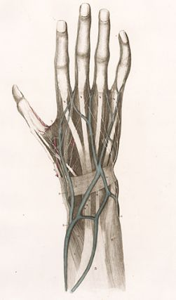 Hand - blood vessels and nerves. Anatomical Plates of the Human Body.