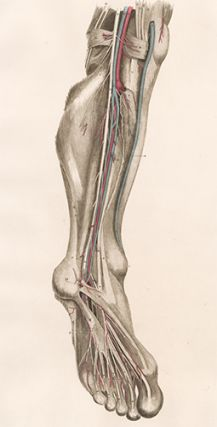 Leg - blood vessels and nerves. Anatomical Plates of the Human Body. John Lizars