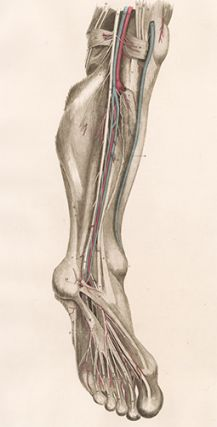 Leg - blood vessels and nerves. Anatomical Plates of the Human Body.