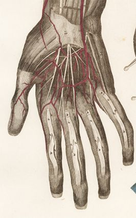 Forearm and Hand - blood vessels and nerves. Anatomical Plates of the Human Body.