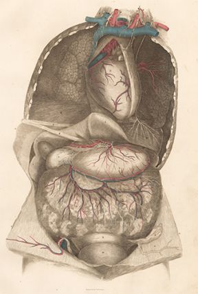 Viscera thorax and abdomen with blood vessels and nerves. Anatomical Plates of the Human Body....