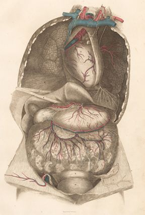 Viscera thorax and abdomen with blood vessels and nerves. Anatomical Plates of the Human Body.