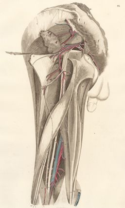 Pelvis dorsum - blood vessels and nerves. Anatomical Plates of the Human Body.