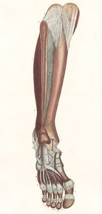 Muscles of leg and foot, some ligaments of foot. Anatomical Plates of the Human Body.