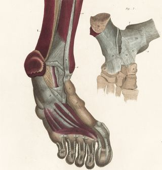 Leg and foot - muscles and ligaments. Anatomical Plates of the Human Body.