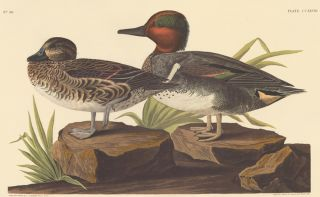 American Green winged Teal. John James Audubon