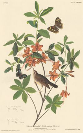 Brown Headed Worm Eating Warbler. John James Audubon