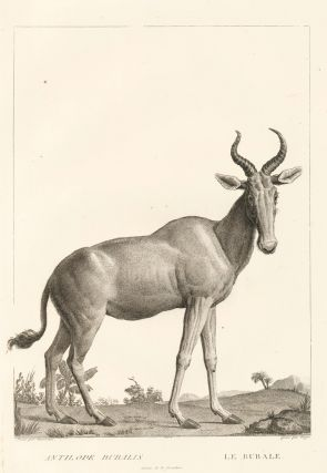 Bubal antelope, or bubal hartebeest [extinct] . La Ménagerie du Muséum National d'Histoire...