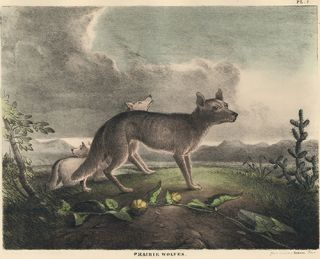 Prarie Wolves. The Cabinet of Natural History and American Rural Sports. Thomas Doughty
