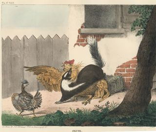 Skunk. The Cabinet of Natural History and American Rural Sports. Thomas Doughty