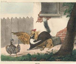 Skunk. The Cabinet of Natural History and American Rural Sports.