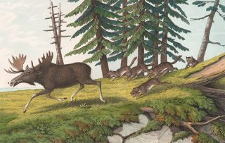 Moose. The Instructive Picture Book. Adam White, M H. H. J