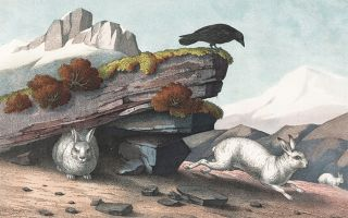 Alpine Hare. The Instructive Picture Book. Adam White, M H. H. J