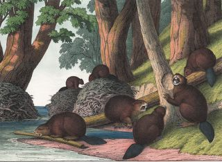 Beaver. The Instructive Picture Book. Adam White, M H. H. J