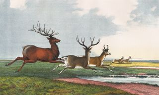 Wapiti. The Instructive Picture Book. Adam White, M H. H. J