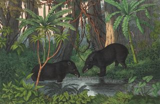 American Tapir. The Instructive Picture Book. Adam White, M H. H. J
