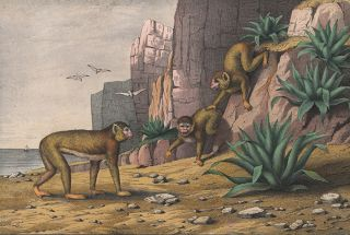 Barbary Ape. The Instructive Picture Book.