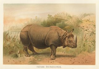 Indian Rhinoceros. The Royal Natural History. Richard Lydekker
