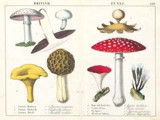 British Fungi. Instructive Picture Book. Robert Stark