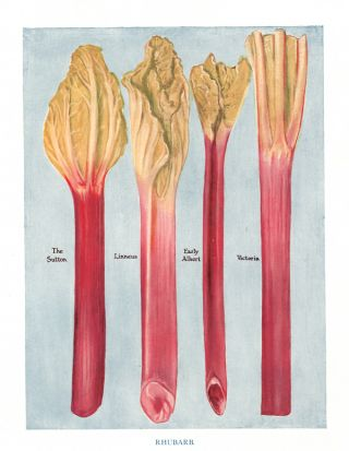 Rhubarb. The Vegetable Grower's Guide. John Wright