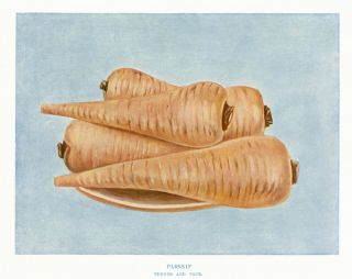 Parsnip. The Vegetable Grower's Guide. John Wright