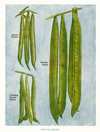 French Beans. The Vegetable Grower's Guide. John Wright