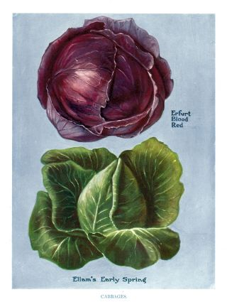 Cabbages. The Vegetable Grower's Guide. John Wright