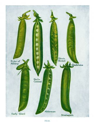 Peas. The Vegetable Grower's Guide. John Wright