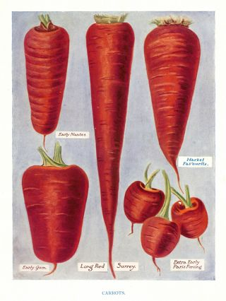 Carrots. The Vegetable Grower's Guide. John Wright.