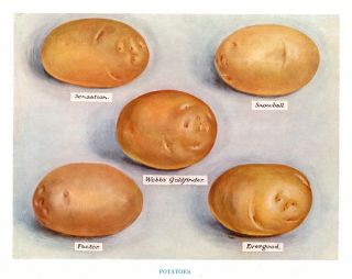 Potatoes. The Vegetable Grower's Guide. John Wright