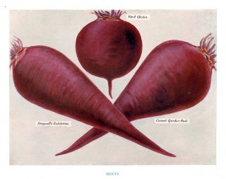Beets. The Vegetable Grower's Guide. John Wright