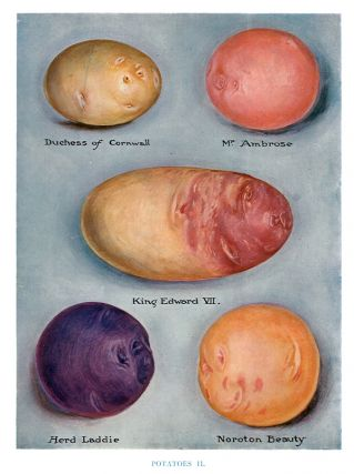 Potatoes II. The Vegetable Grower's Guide. John Wright
