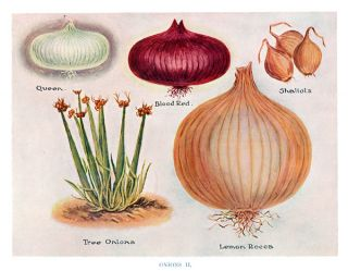 Onions II. The Vegetable Grower's Guide. John Wright