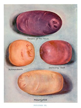 Potatoes III. The Vegetable Grower's Guide. John Wright