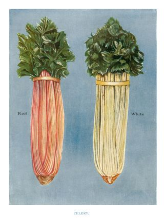 Celery. The Vegetable Grower's Guide. John Wright