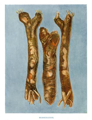 Horseradish. The Vegetable Grower's Guide. John Wright
