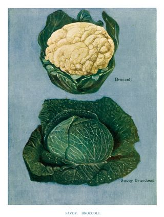 Savoy and Broccoli. The Vegetable Grower's Guide. John Wright