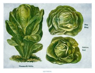 Lettuces. The Vegetable Grower's Guide. John Wright